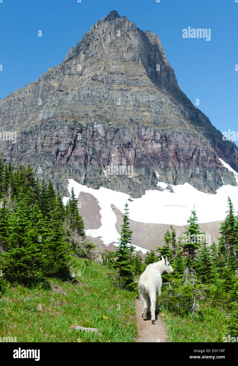 My hiking buddy, a mountain goat - Glacier NP, MT - Stock Image