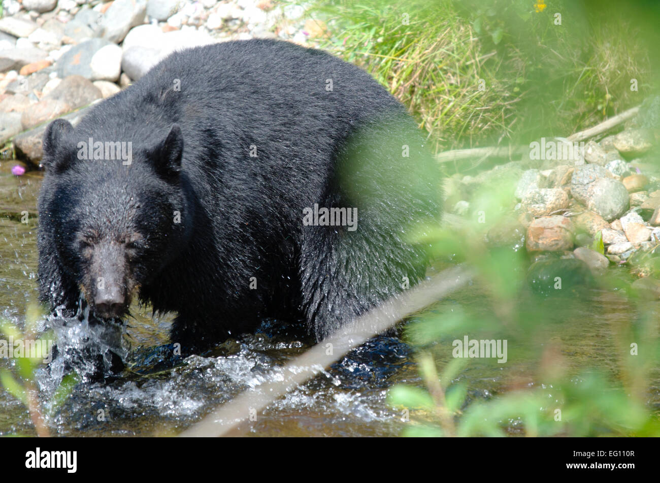 The chase isn't over yet - A fishing black bear Stock Photo