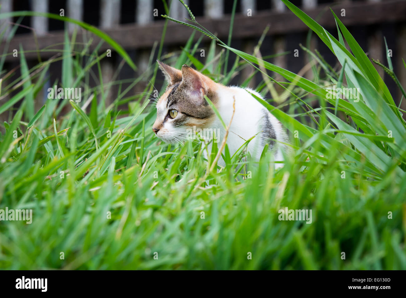 Cat Stalking in Long Grass - Stock Image