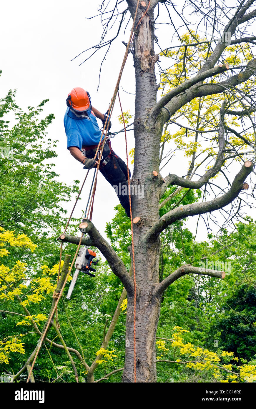 tree surgeon removing branches from a dead tree - Stock Image