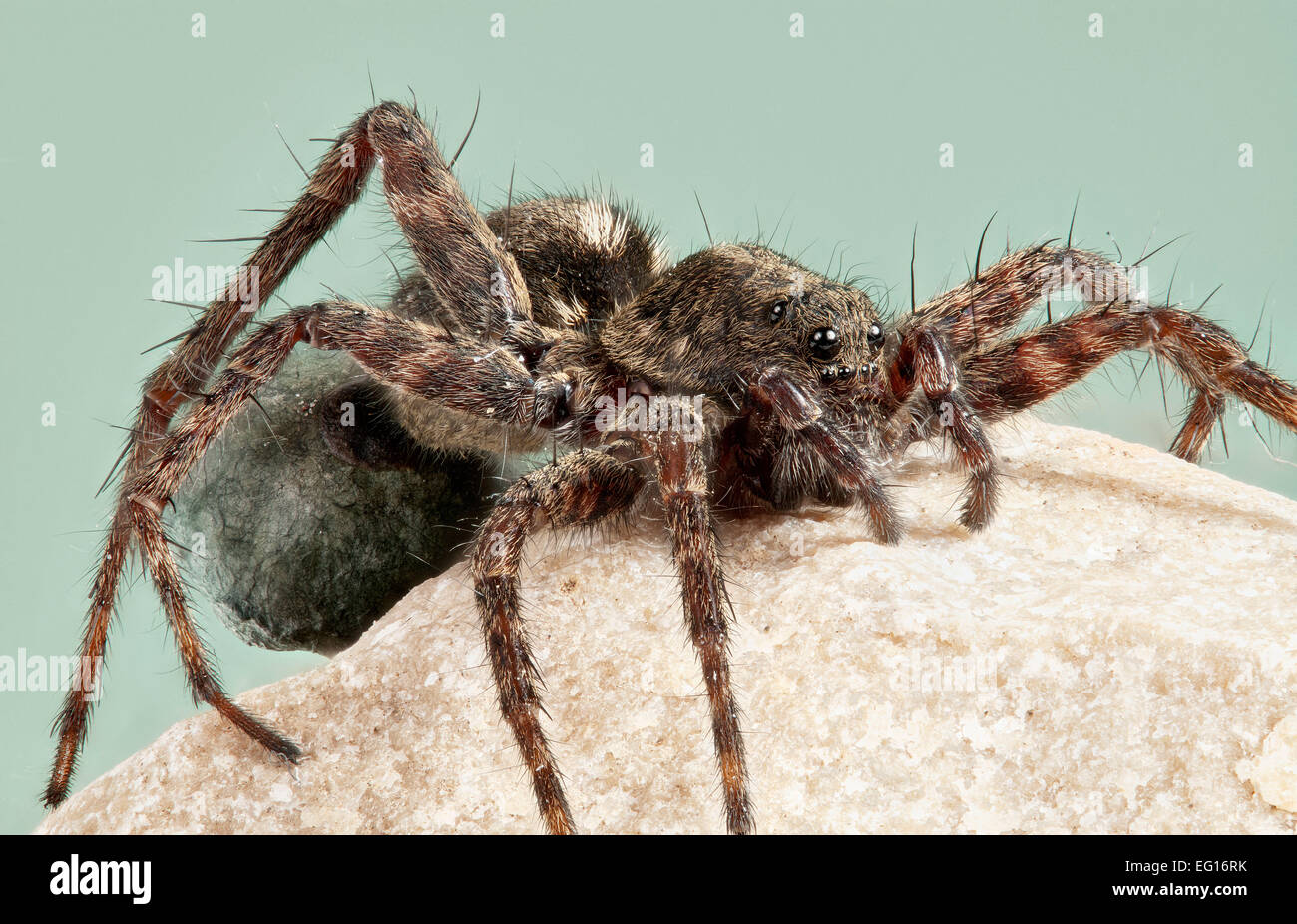BMDBB6 Female spotted wolf spider Pardosa amentata with egg sac - Stock Image
