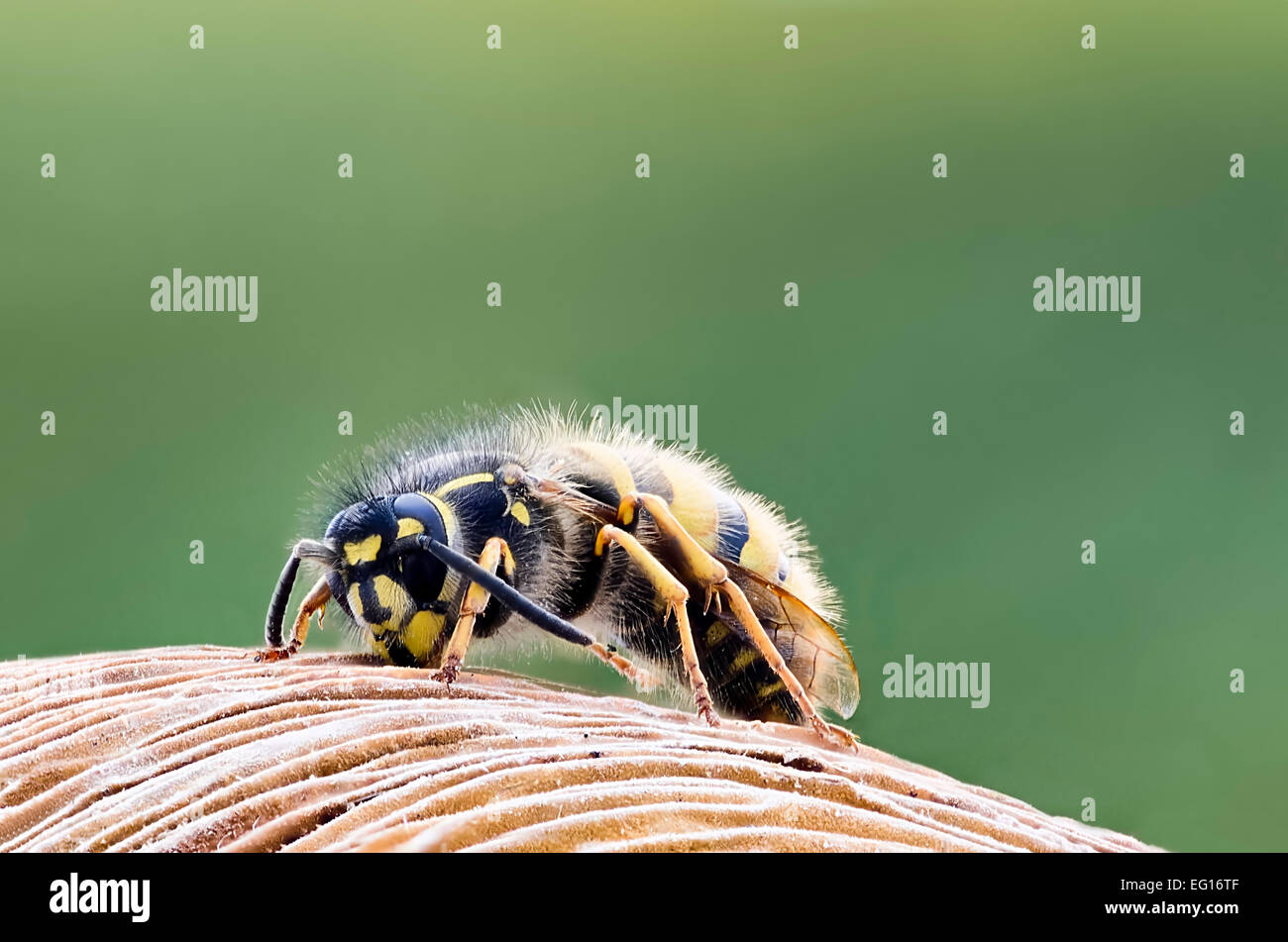 image of common wasp vespula vulgaris macro face head uk all of insect is in focus - Stock Image