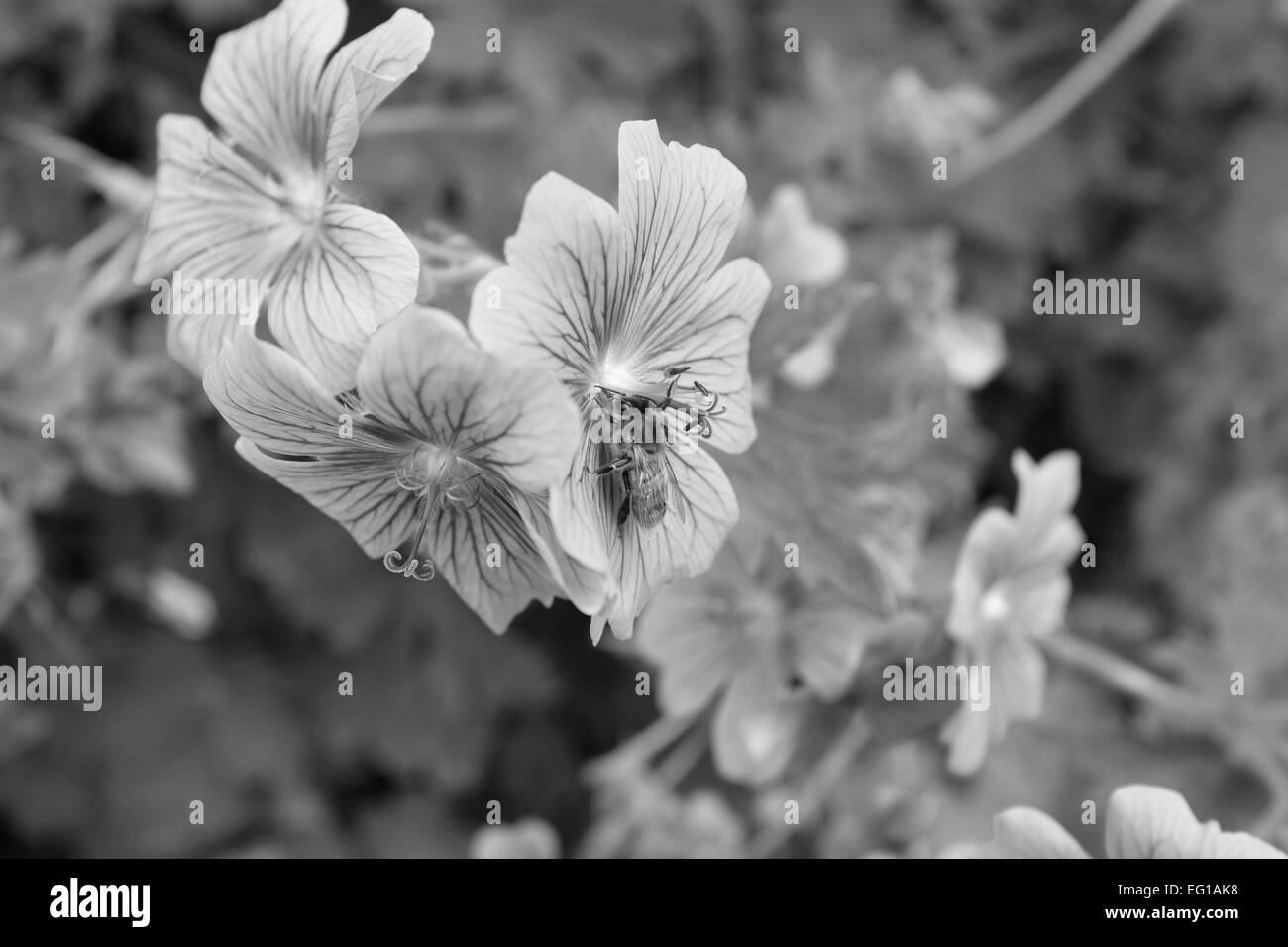A honey bee uses its proboscis to take nectar from a geranium flower - monochrome processing - Stock Image
