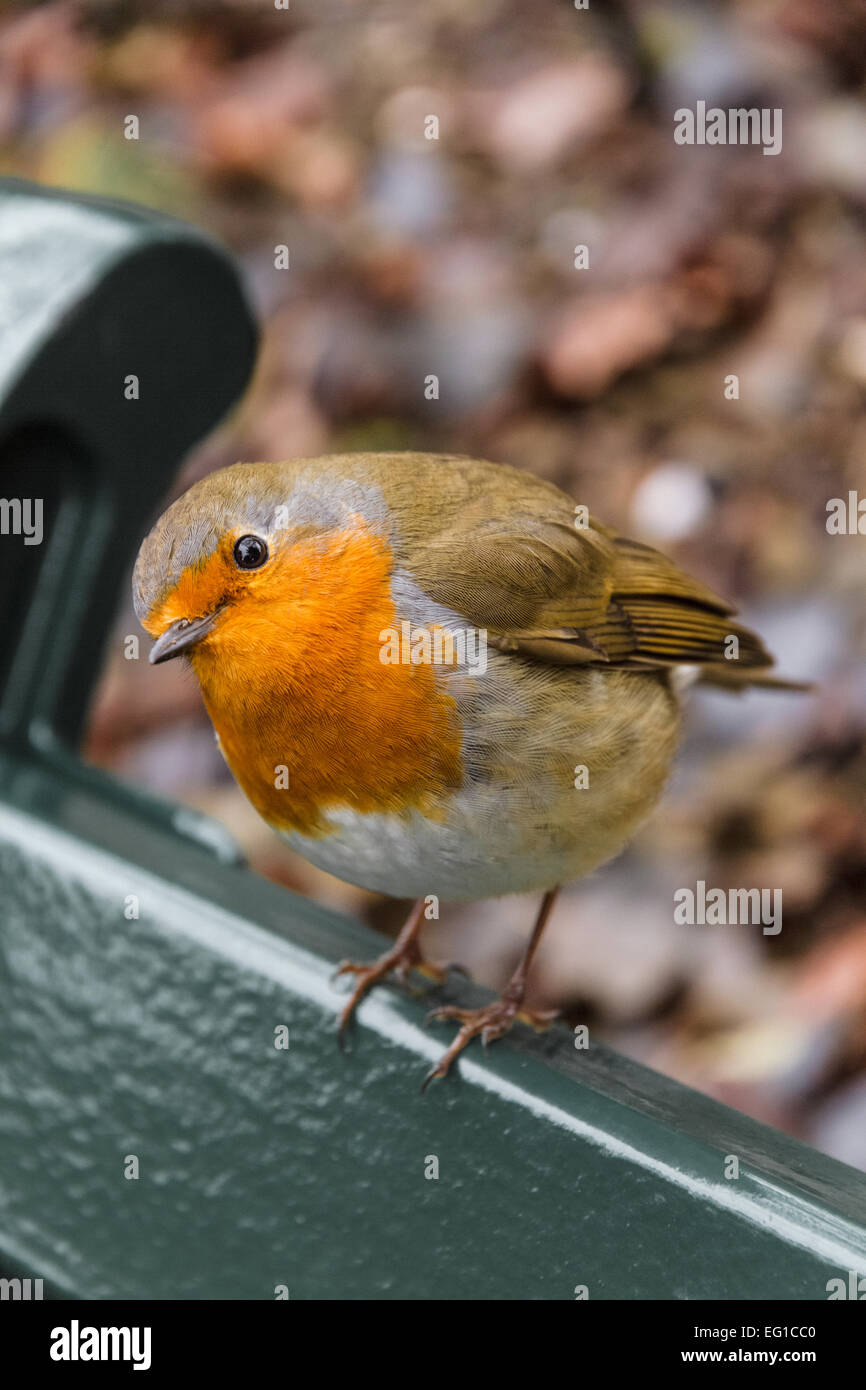 Inquisitive robin perched on on park bench A - Stock Image