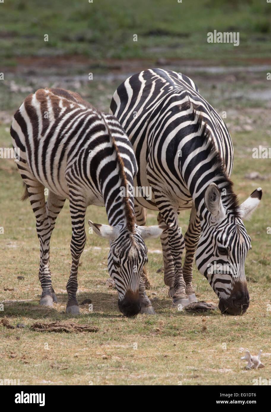 Zebra Equus burchelli grazing Amboseli National Park Kenya - Stock Image