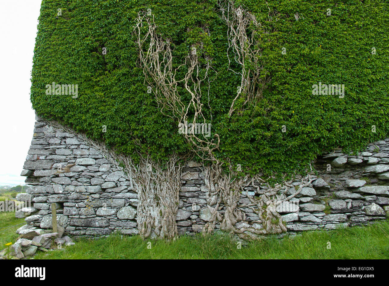 Ancient Ivy covered stone wall in Ireland - Stock Image