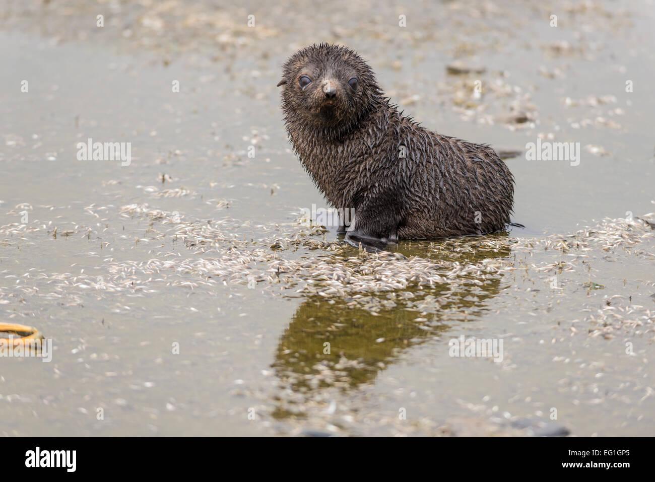 Alsko antarctic fur seal (arctocephalus gazella) cub, alsko known
