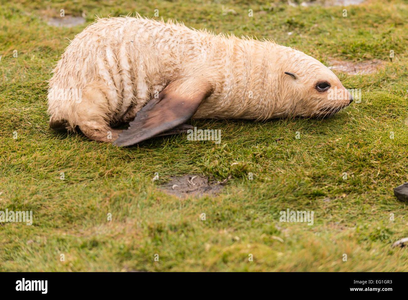 Alsko rare blondie antarctic fur seal (arctocephalus gazella) cub