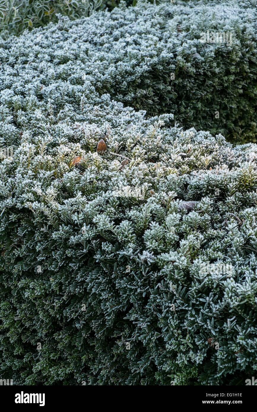Taxus baccata Yew hedge - Stock Image