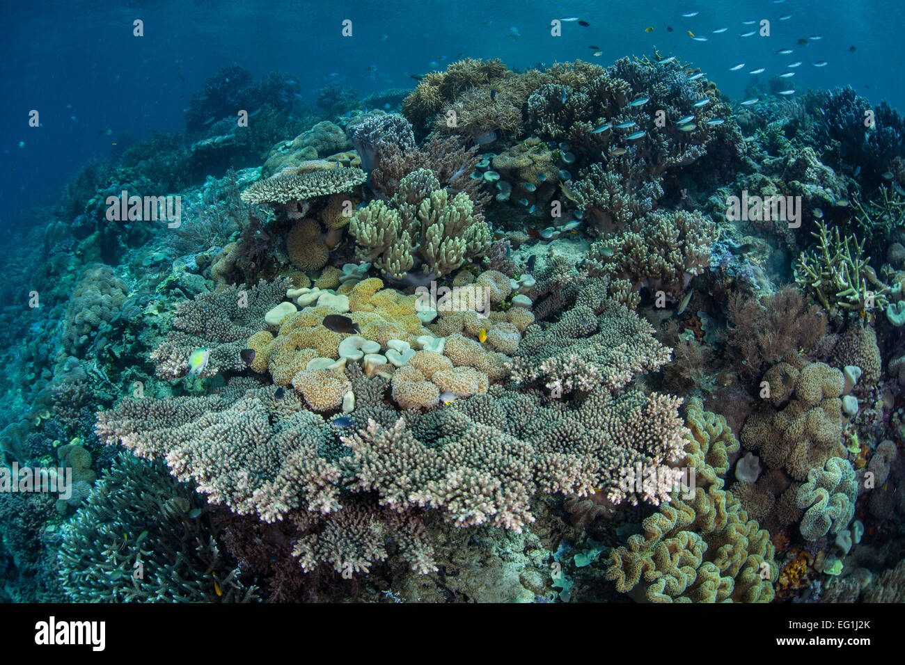 A diverse and healthy coral reef grows in Raja Ampat, Indonesia. This region harbors extraordinary marine biodiversity. - Stock Image