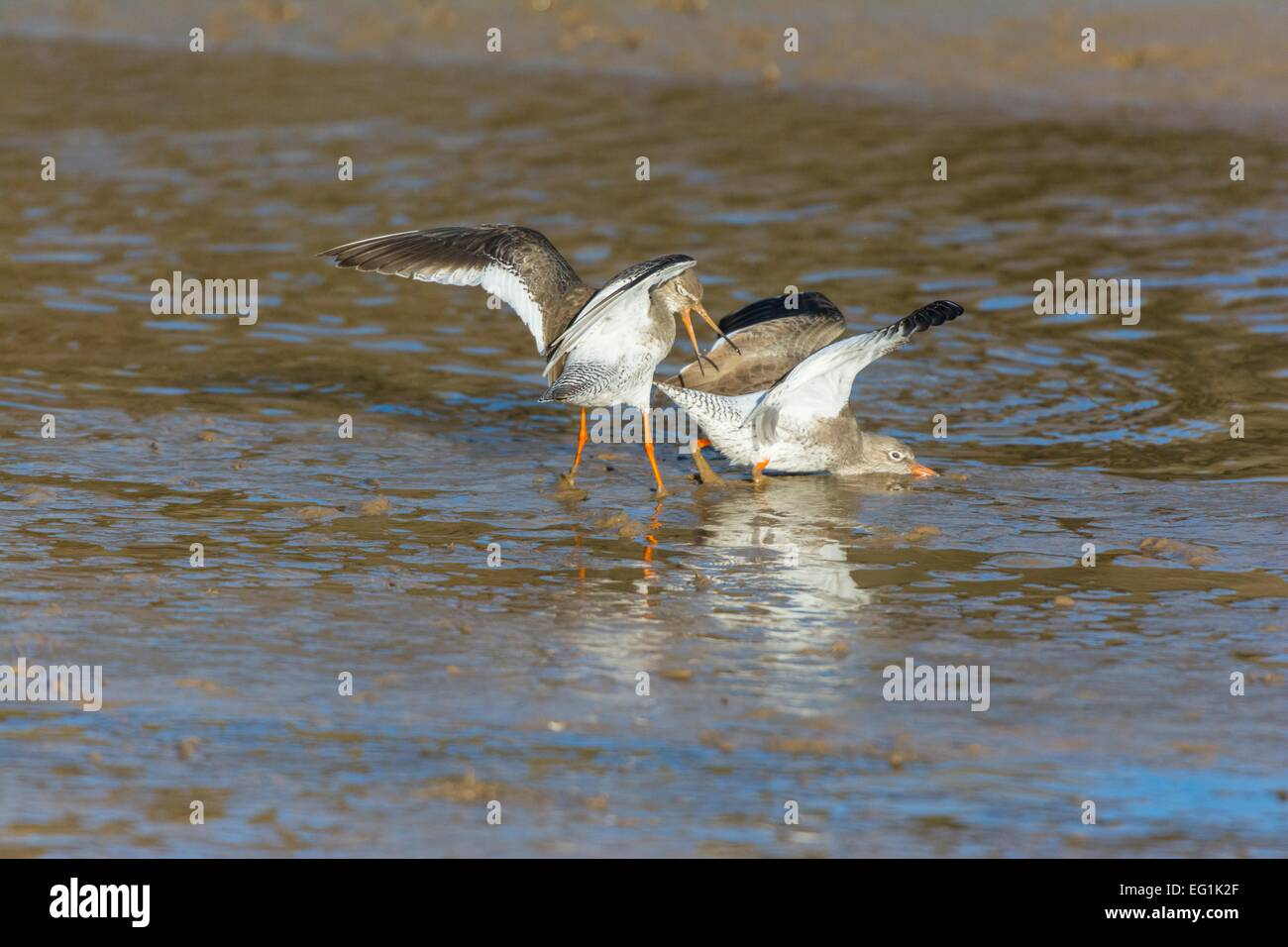 Common Redshank Tringa totanus, two birds involved in territorial dispute, Norfolk, England, February - Stock Image