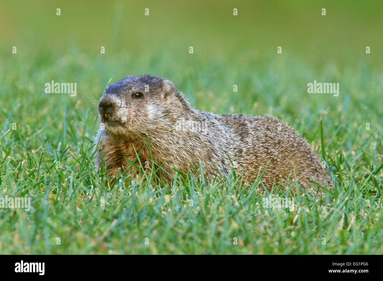 Groundhog (Marmota monax) in a grassy field. - Stock Image