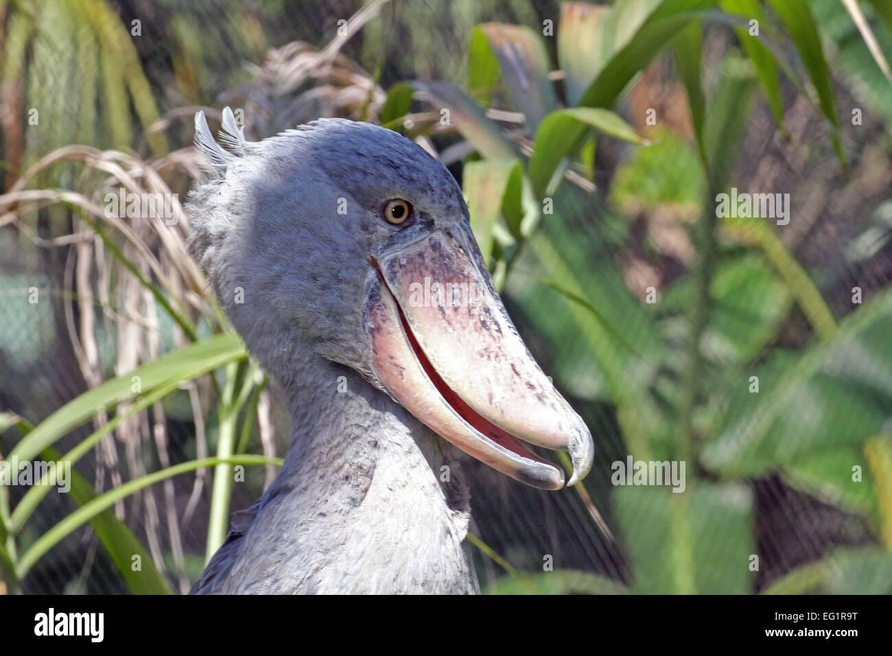 Houston Zoo.  Animals in captivity.  Houston, Texas, USA. Shoebill Stork - Stock Image