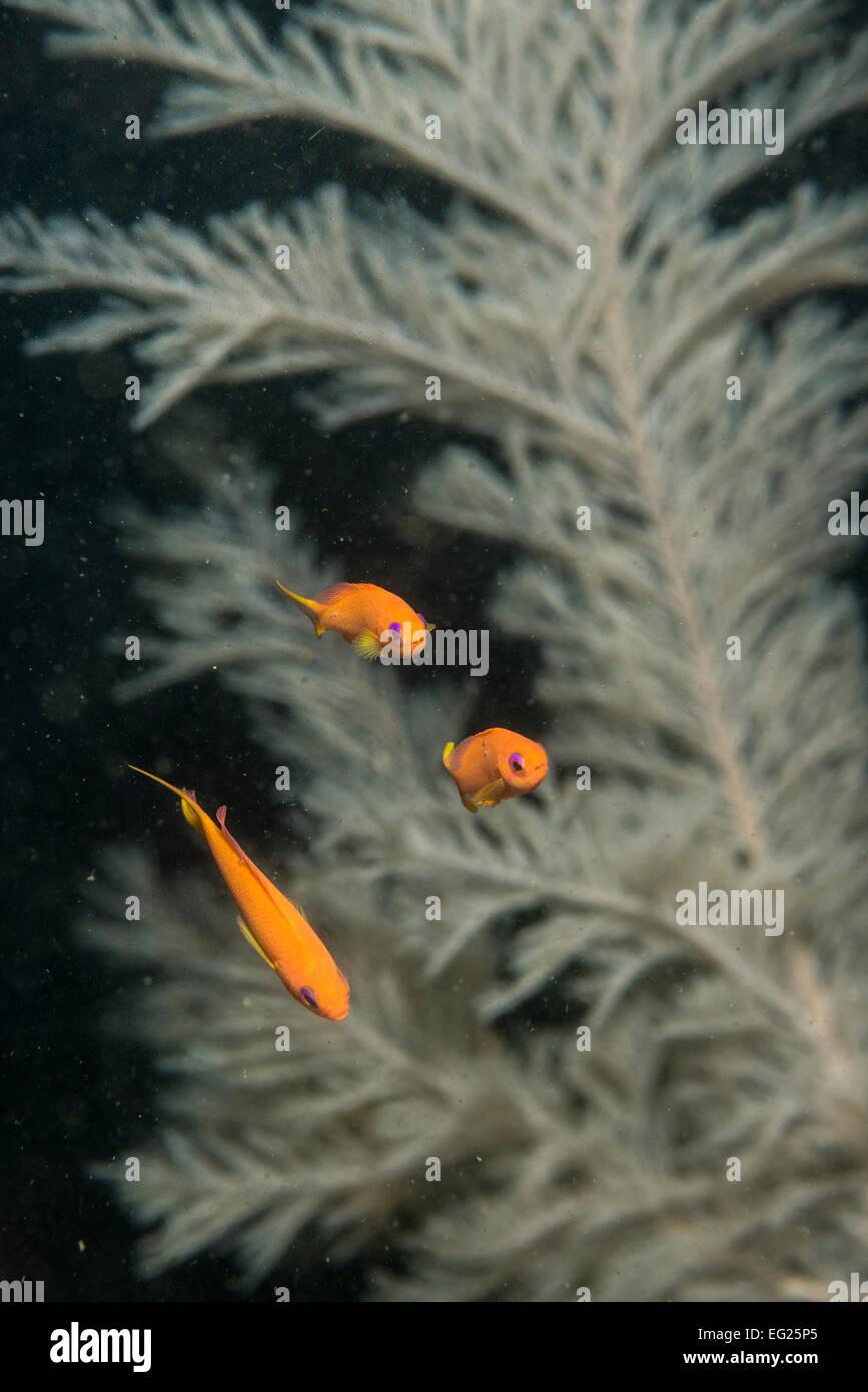 The sea goldie (Pseudanthias squamipinnis). Owase Mie Japan - Stock Image