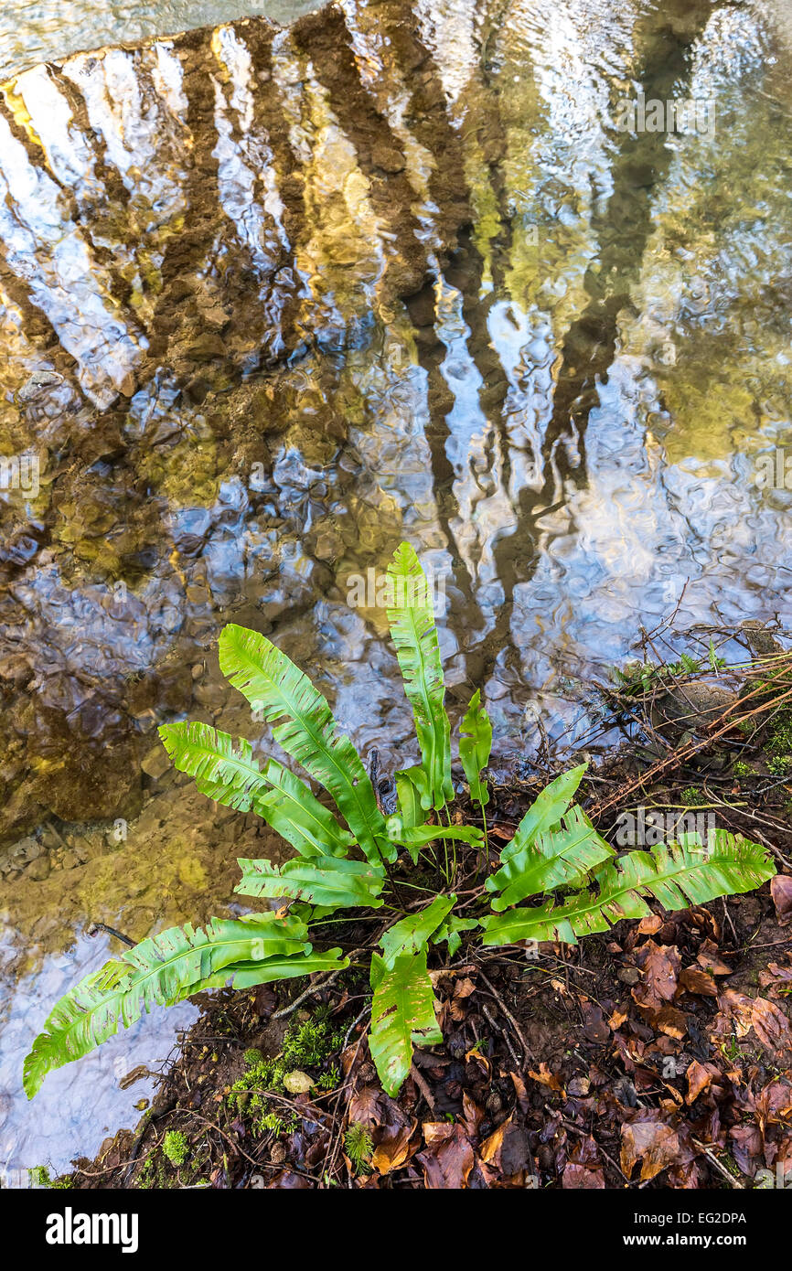 Fern growing at edge of stream with reflections of trees, Slade Bottom valley, St Briavels, Gloucestershire, England, - Stock Image