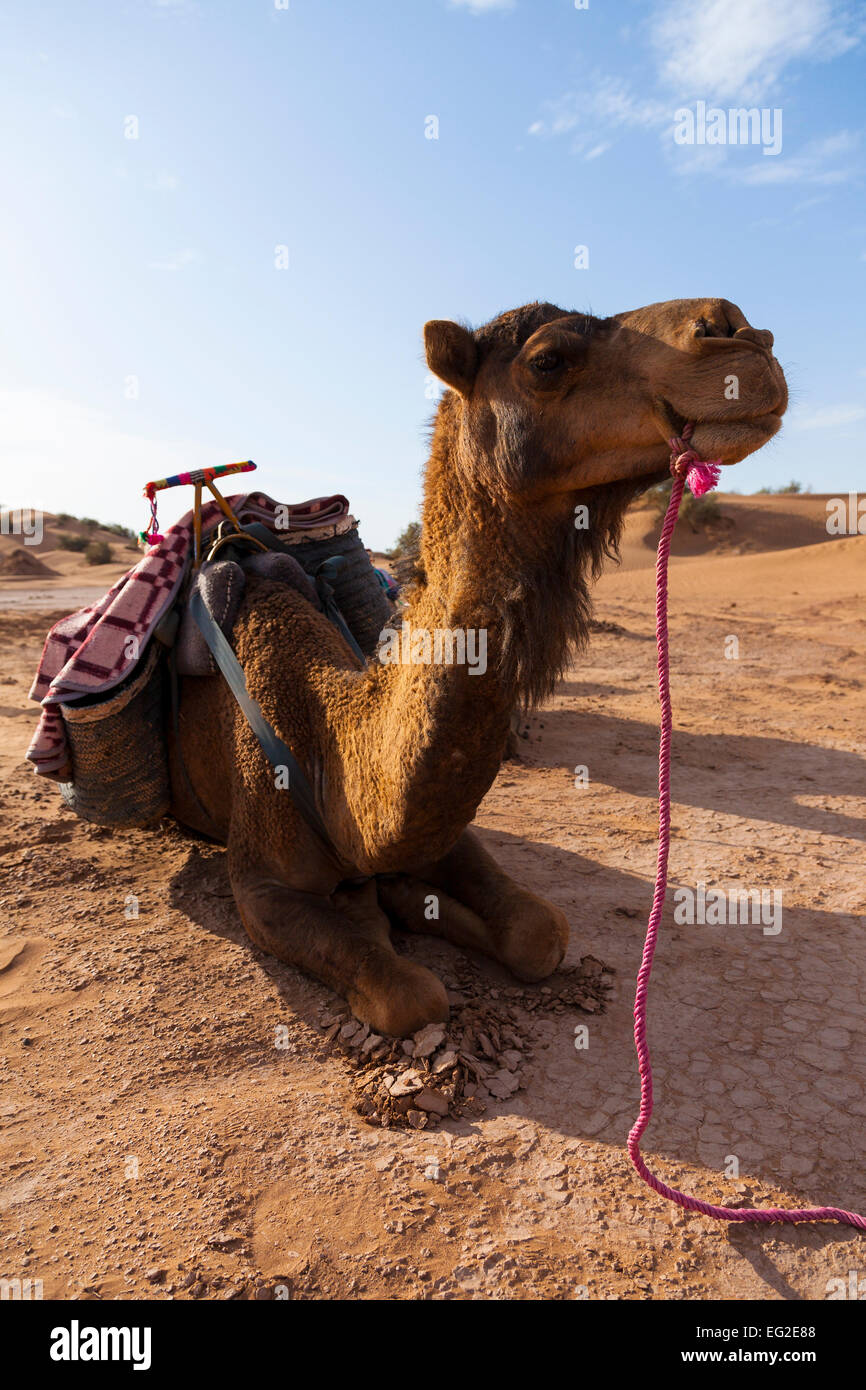 Kneeling dromedary, ready for a camel trek through the desert, Morocco. - Stock Image