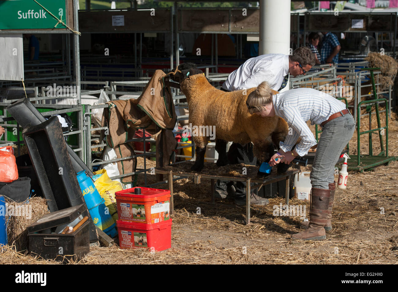 Patient competitor in Suffolk sheep class, carefully brushed by female farmer owner, before it enters competition Stock Photo