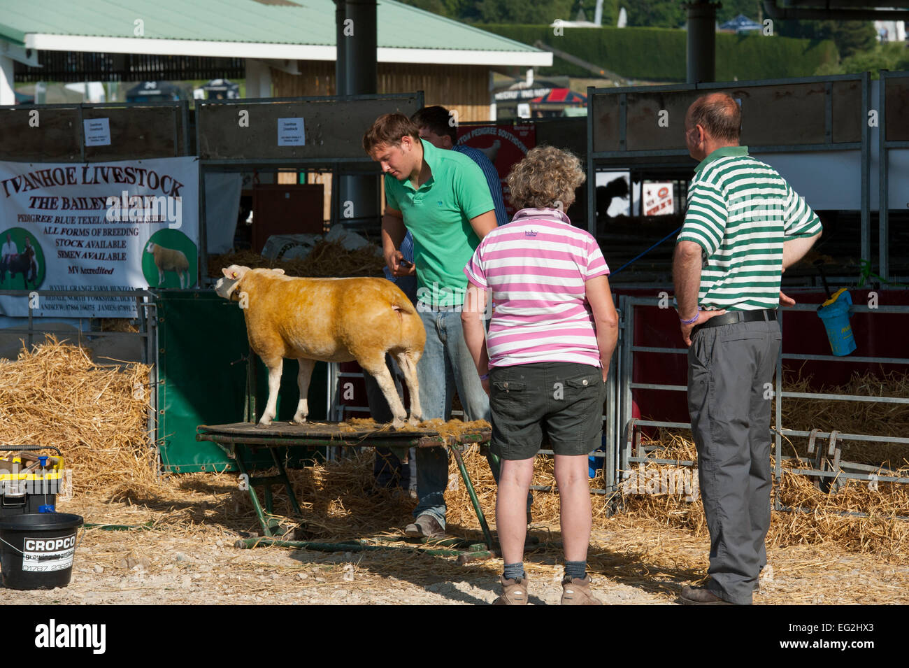 People watch as competitor in beltex sheep class, is brushed by male farmer owner, before it enters competition - Stock Image