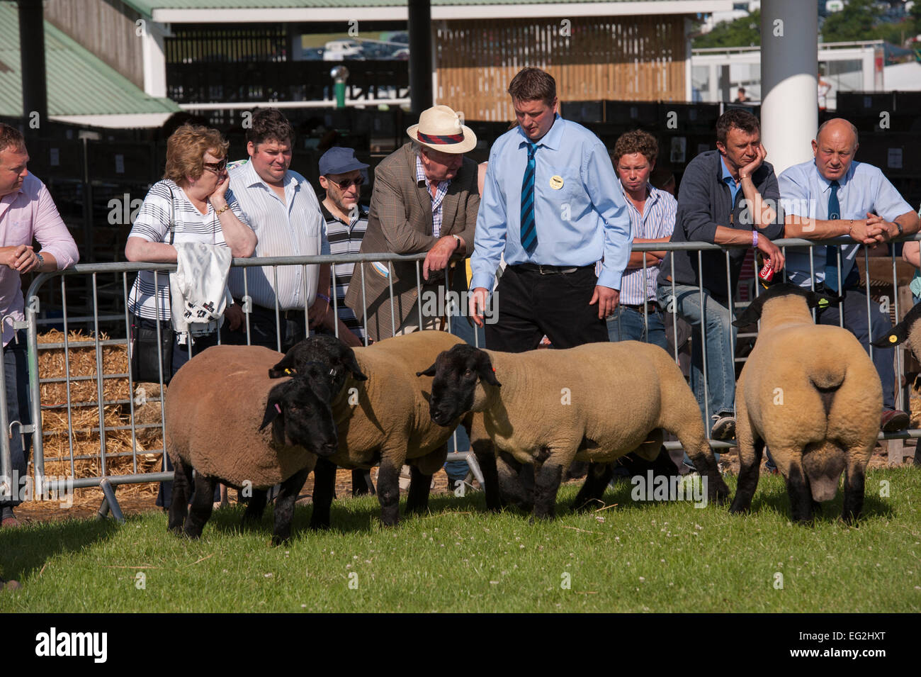 Smart black-faced sheep with male official, stand together in a sunny show ring during a farming competition - The - Stock Image