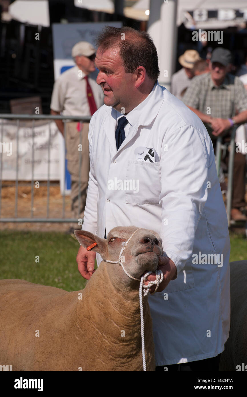 Sunny summer day & sheep competing in farm competition is held under chin by male handler awaiting inspection - Stock Image
