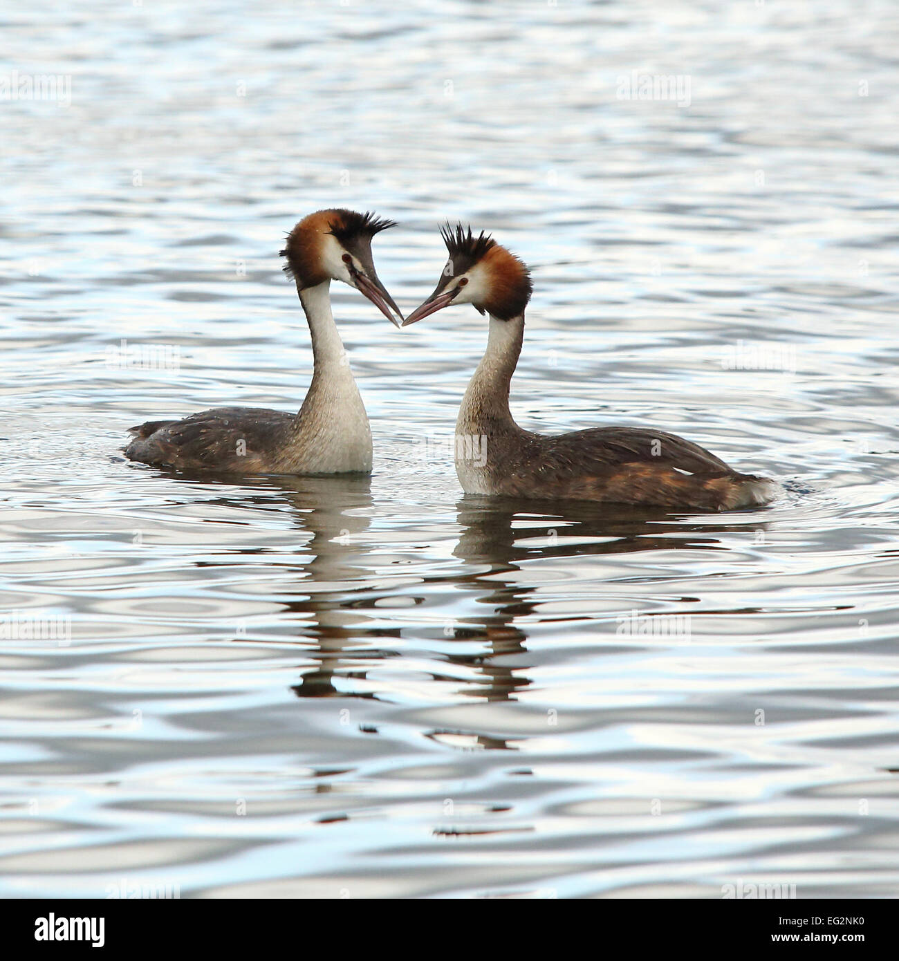 A couple of Great Crested Grebes courting in calm water Stock Photo