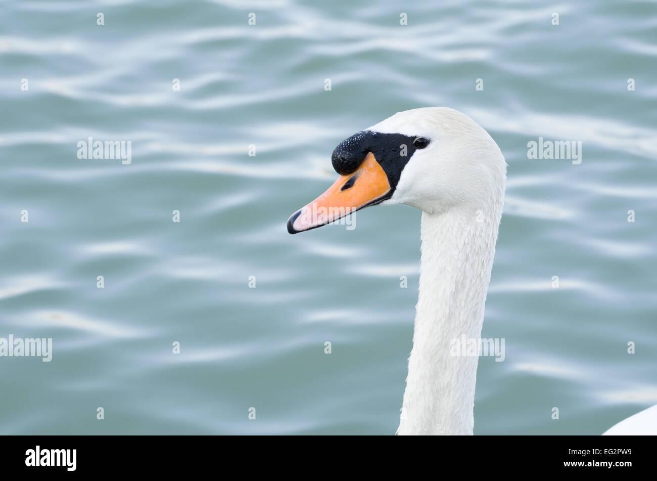 Mute Swan Head in front of Wavy Water Stock Photo