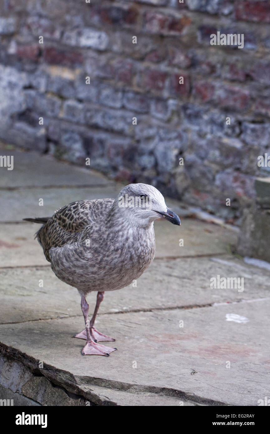 Larus argentatus. Young Herring gull looking for food. - Stock Image