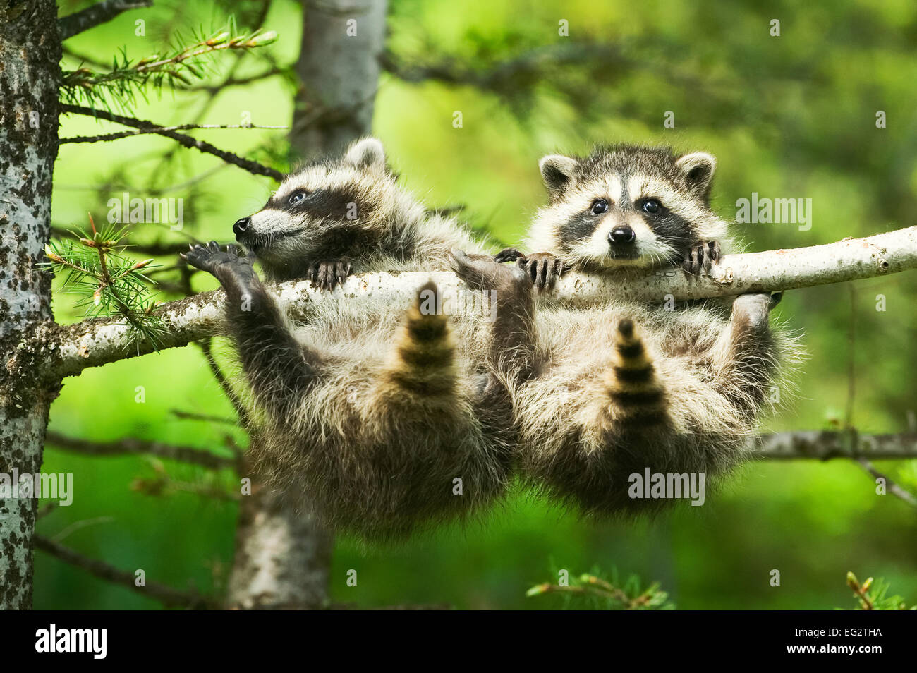 Two baby Common Raccoons (Procyon lotor) precariously grasping a branch on a tree. - Stock Image