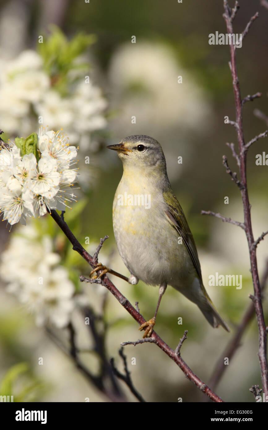 Tennessee Warbler perching in flowering plum tree - vertical - Stock Image