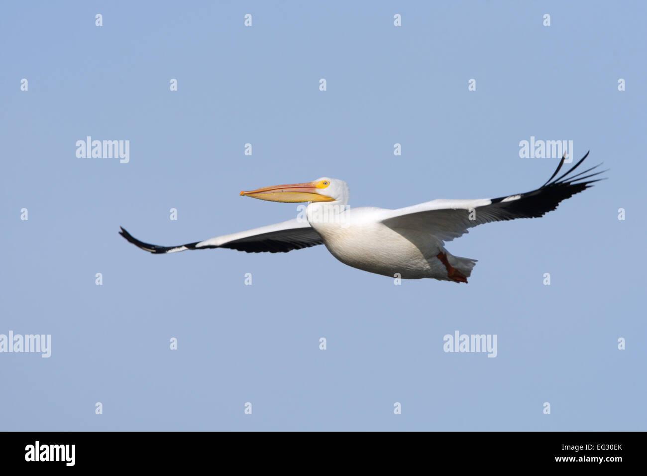 White Pelican Flying - Stock Image