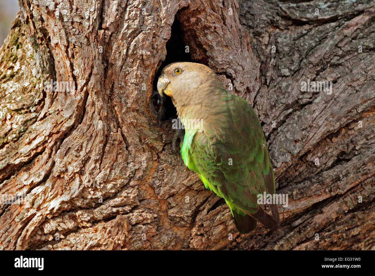 A brownheaded parrot (Piocephalus cryptoxanthus) at its nest in a tree, South Africa - Stock Image