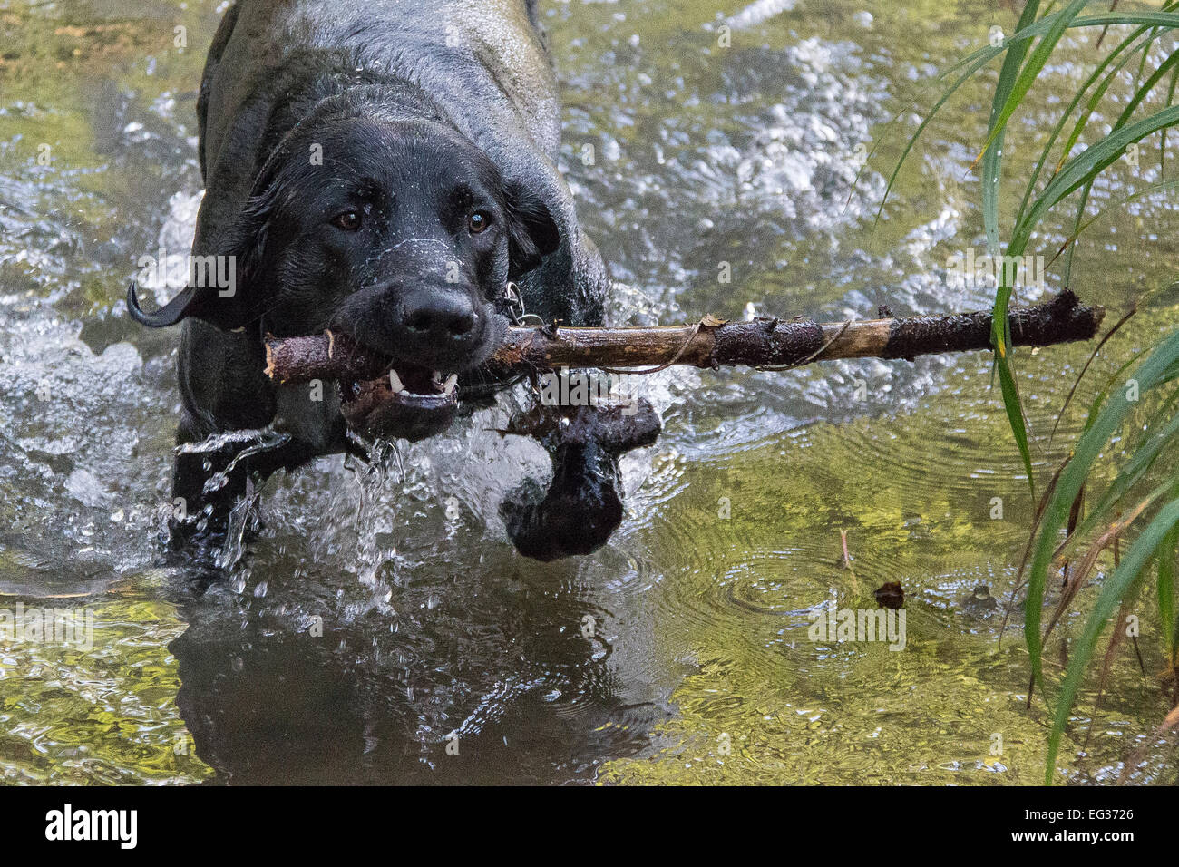 Got it! Black Labrador retrieves stick from the water - Stock Image