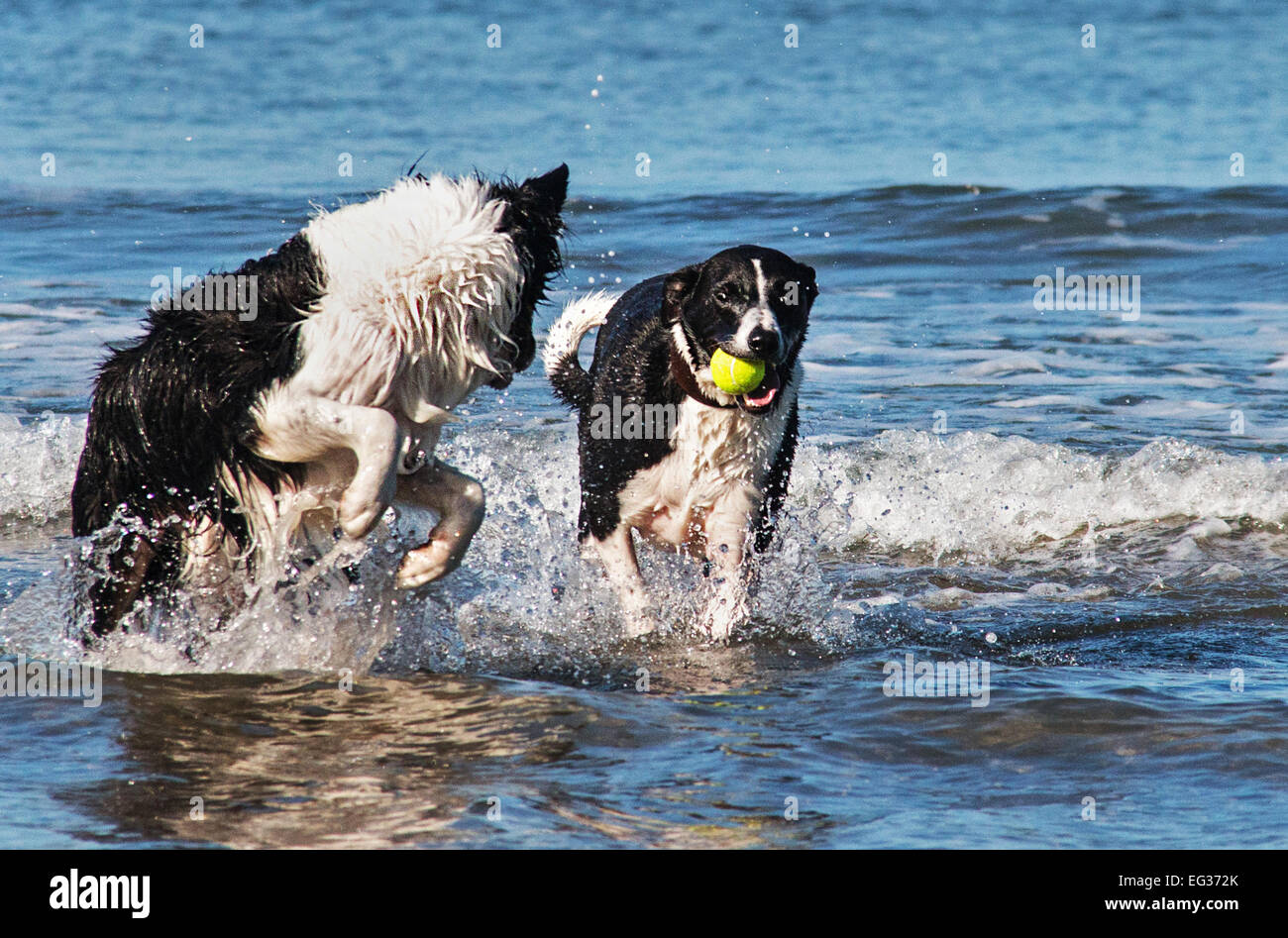 That's my ball! Two dogs fight over a ball in the sea - Stock Image