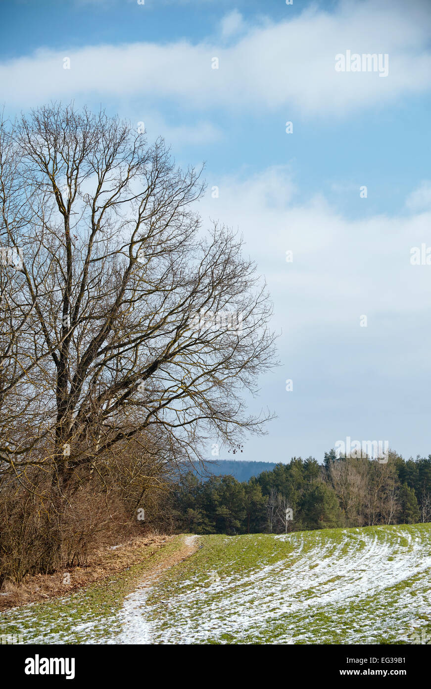 An old obsolete tree at the edge of the field - Stock Image