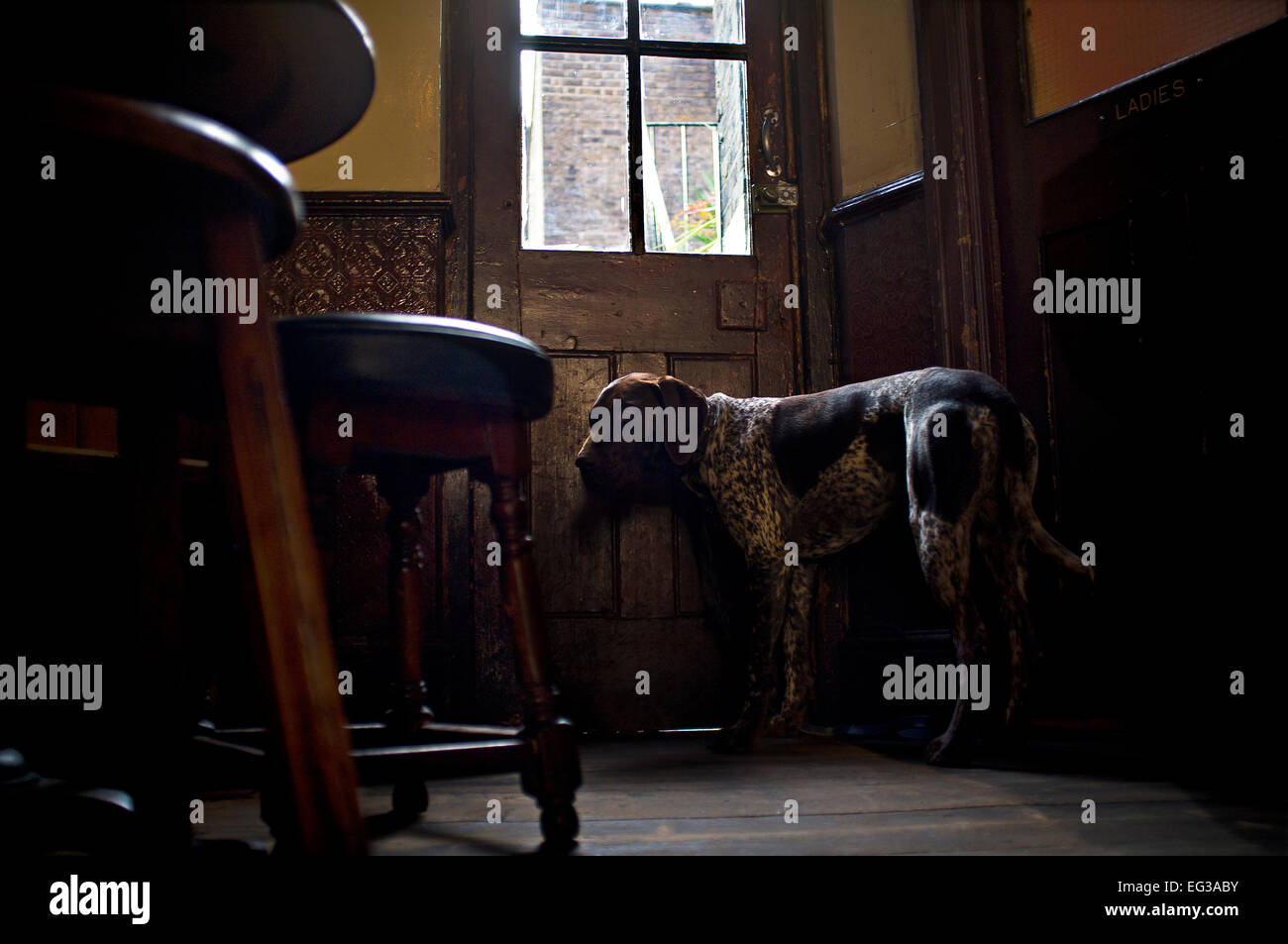 German Shorthaired Pointer dog standing at door of pub - Stock Image