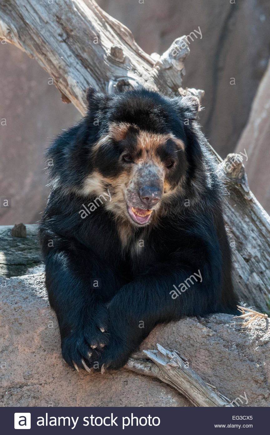 Andean Bear, or Spectacled Bear, Tremarctos ornatus, also called Andean short-faced bear, Cheyenne Mountain Zoo, Stock Photo