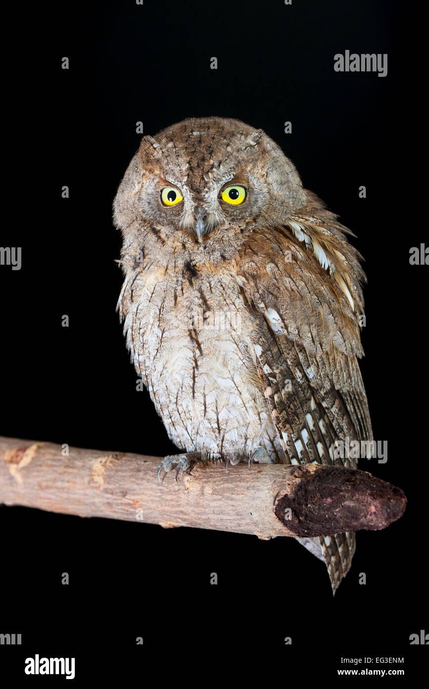Scops Owl - Stock Image