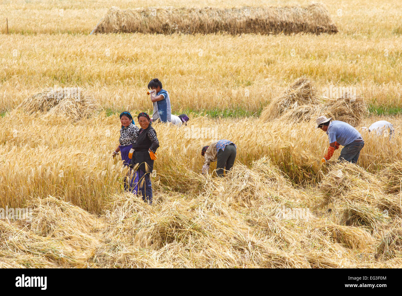 [Editorial Use Only] Farmers in the field harvesting wheat grain by hand near Gyantse, Tibet, China - Stock Image