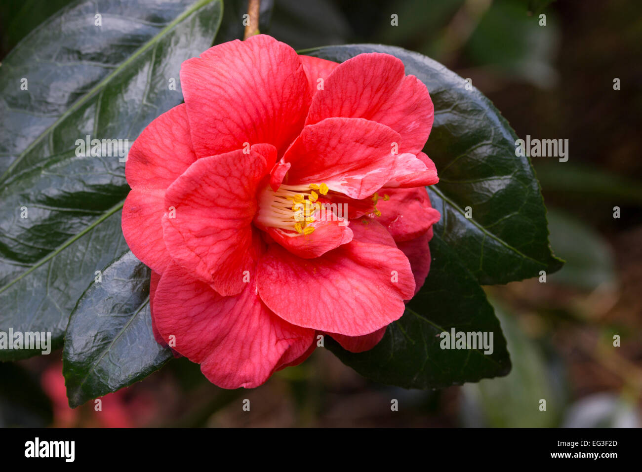Single flower of the red, semi double Camellia japonica 'Ace of Hearts' - Stock Image