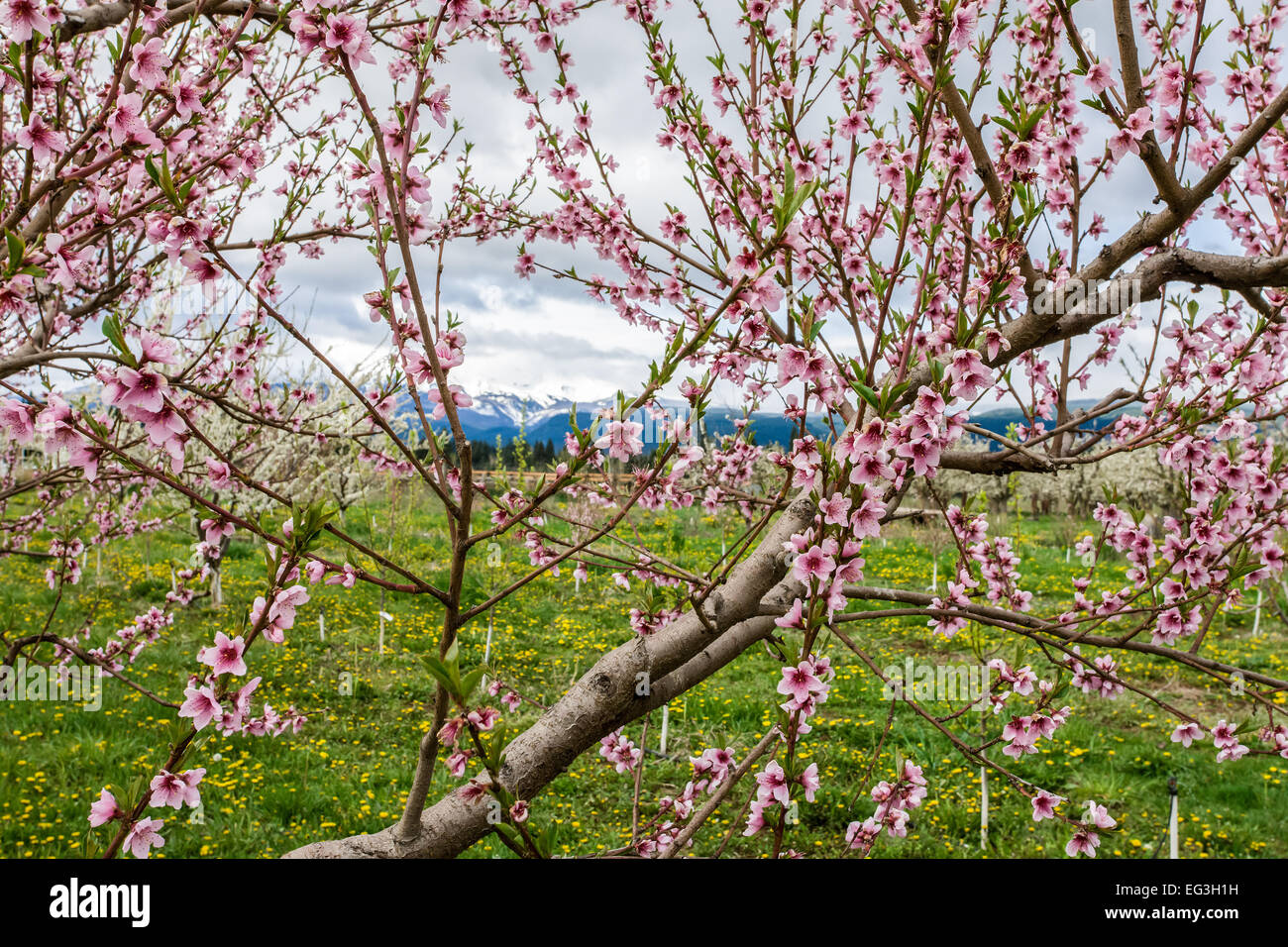 Close-up of an apple tree in blossom in the Fruit Loop near Hood River, Oregon, USA - Stock Image