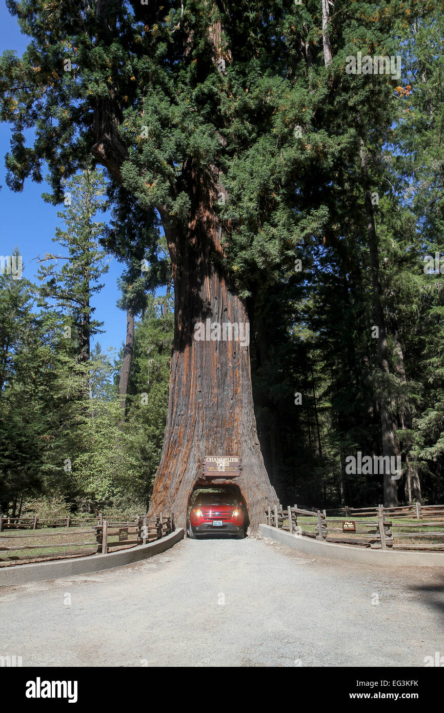 Chandelier tree redwood stock photos chandelier tree redwood stock a vehicle drives through the chandelier tree in leggett california united states stock arubaitofo Choice Image