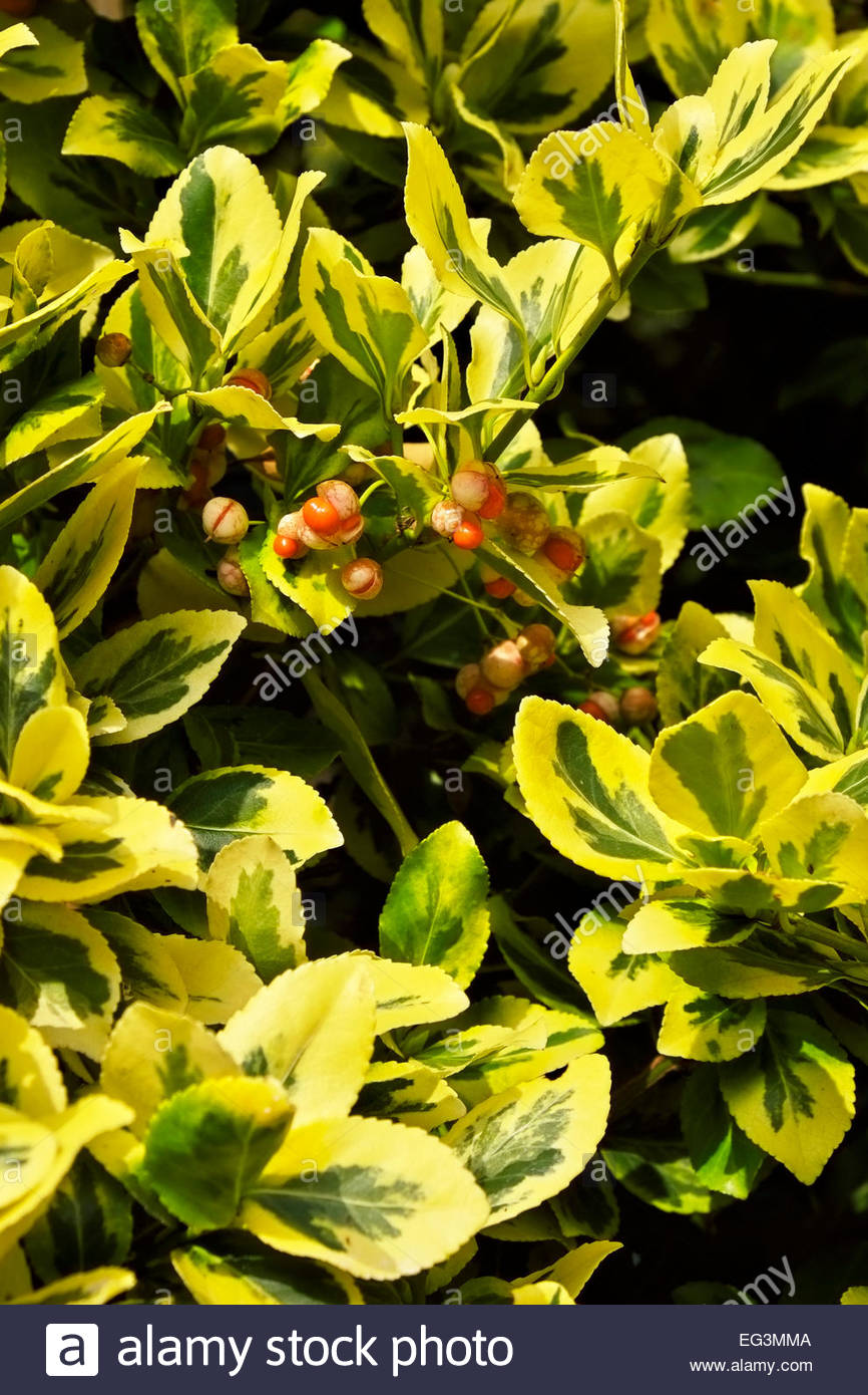 Berries of the Emerald 'n Gold Euonymus fortunei, named for famed Scots plant explorer, Robert Fortune. - Stock Image