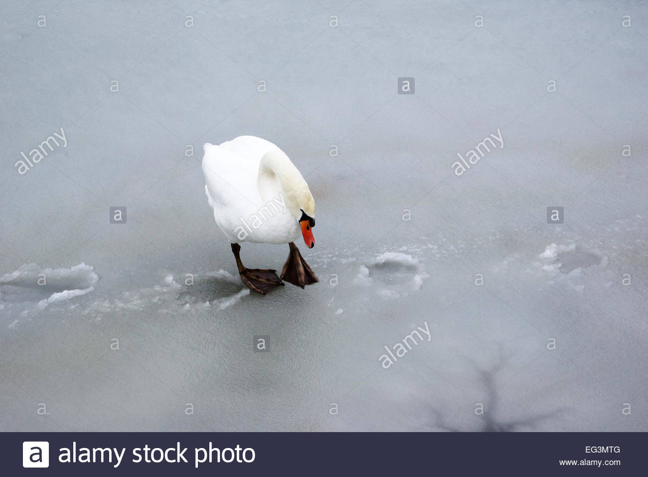 A swan walks on thin ice. - Stock Image