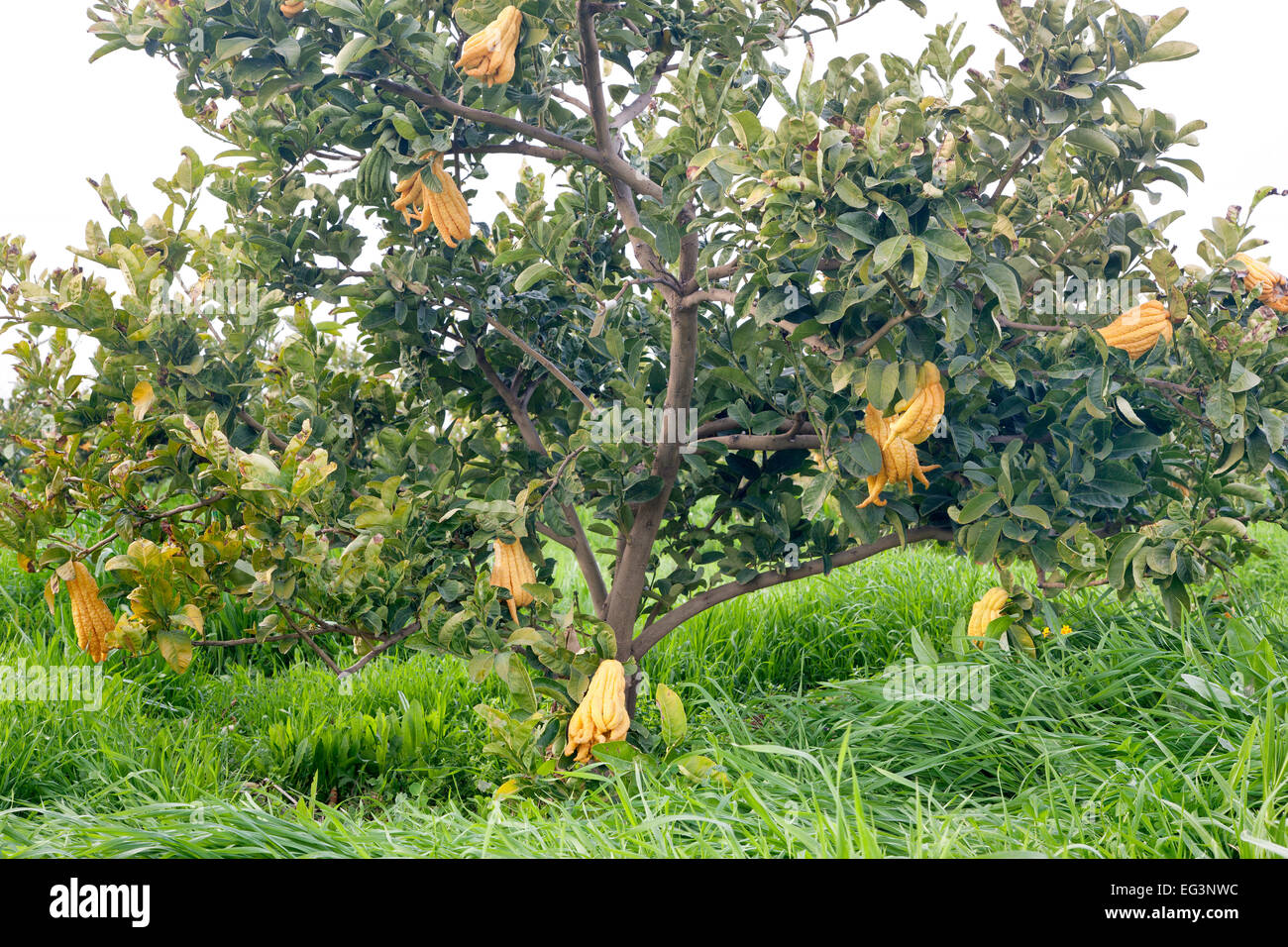 Buddha's Hand, maturing fruit on branches. Stock Photo