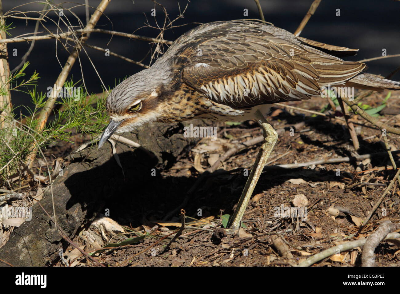 A Bush Stone-curlew (Burhinus grallarius), also called bush thick-knee, is camouflaged among shrubs and leaf litter - Stock Image