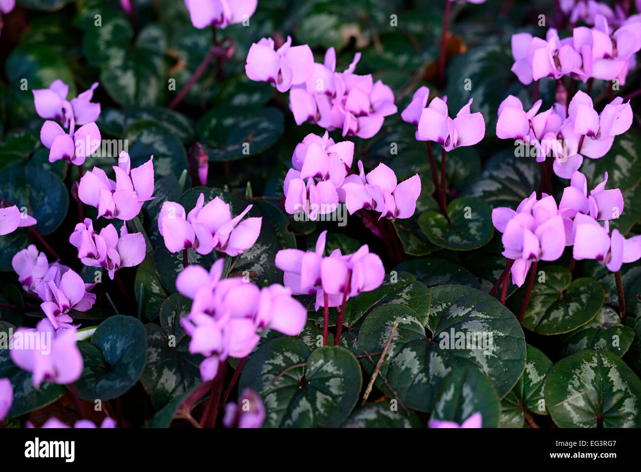 cyclamen coum subsp caucasicum pink flowers flowering winter frost hardy RM Floral - Stock Image