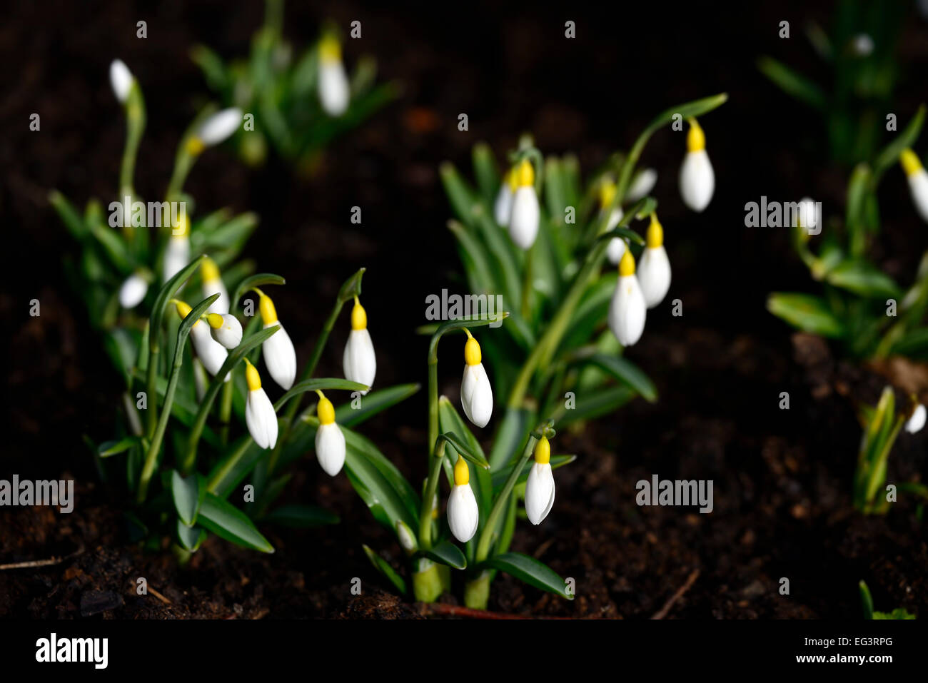 galanthus plicatus wendy s gold yellow snowdrops flowers markings