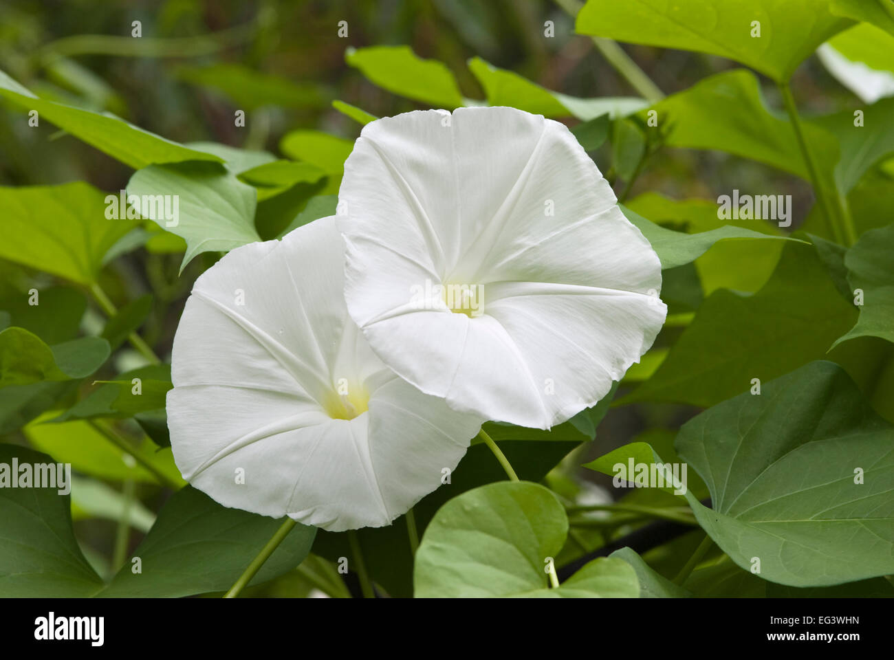 Morning Glory Flowers - Ipomoea alba - Stock Image