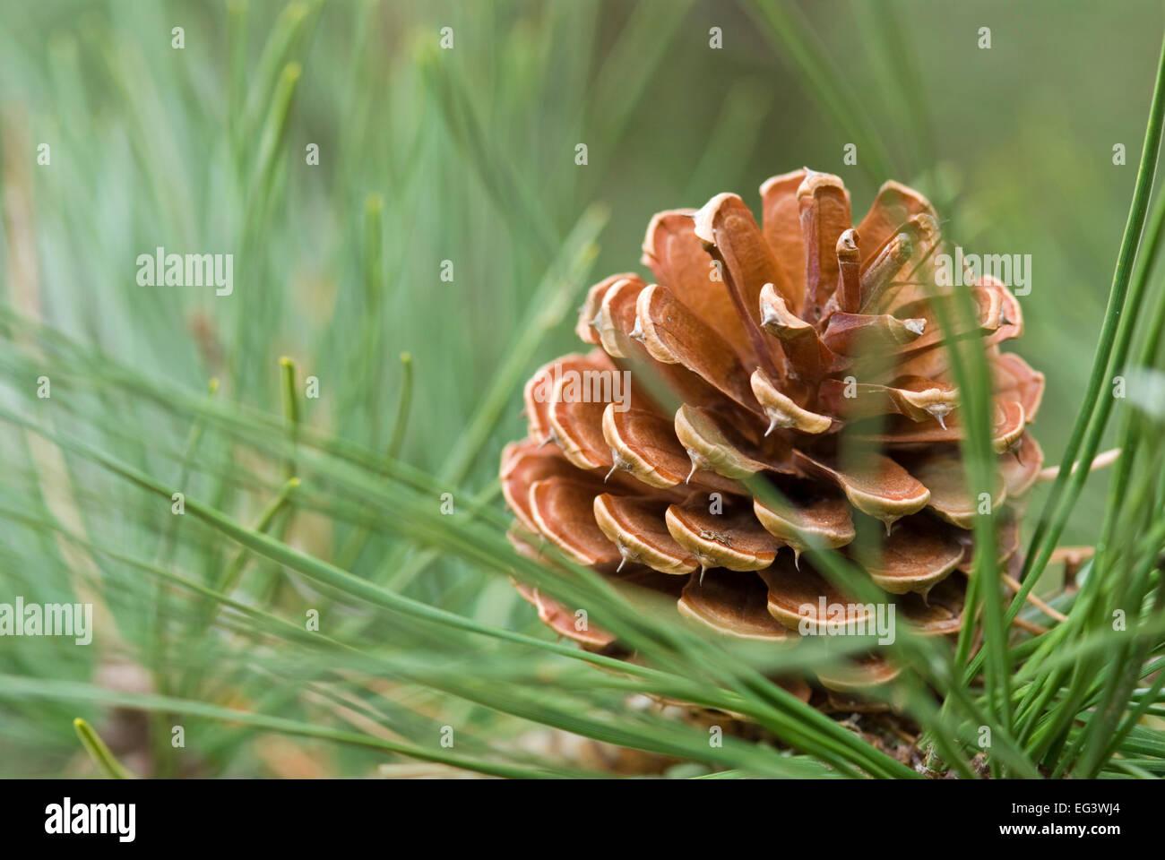 Pine Cone from Pitch Pine Tree - Pinus rigida - Stock Image
