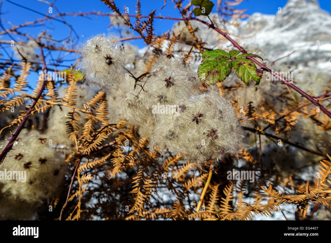 Seeds of Clematis vitalba, Old man's beard, Traveller's Joy, Ranunculaceae family - Stock Image